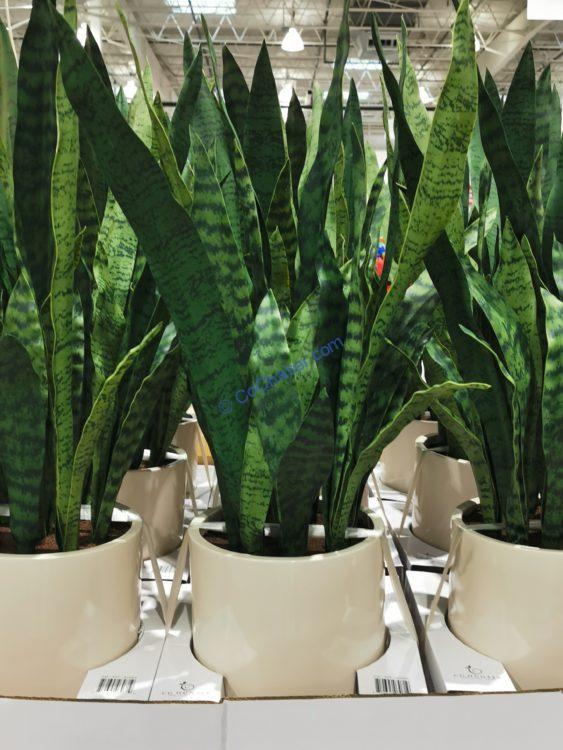 CG Hunter Snake Plant